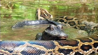 getlinkyoutube.com-Pythons at Alligator Pond 07 - Dangerous Animals in Florida