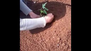 Cara Menanam Pohon Pepaya |Papaya Plantation