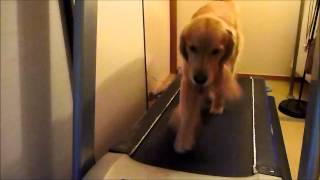 getlinkyoutube.com-ゴールデンレトリバーのトレッドミル Golden retriever on Treadmill