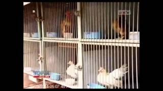 getlinkyoutube.com-[ANTV] TOPIK Unik Ayam Serama