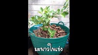 getlinkyoutube.com-วิธีปลูกมะนาวในเข่ง 1/2 - Plant the lime tree in b