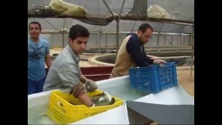 getlinkyoutube.com-Intensive desert farming of marine fish in Egypt