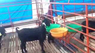 getlinkyoutube.com-www.yashodavanagoatfarm.com / Organised Goat Farming Mysore