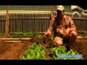 How to Plant a Vegetable Garden : How to Grow Lettuce in a Vegetable Garden
