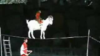 getlinkyoutube.com-A Monkey on a Goat on a Cup on a Tightrope