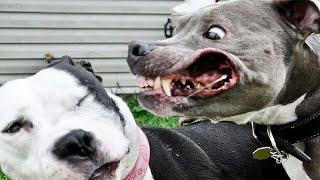 getlinkyoutube.com-5 MOST DANGEROUS Dog Breeds