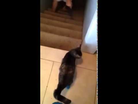 Este gato no le para tener las patas de atrás amputadas