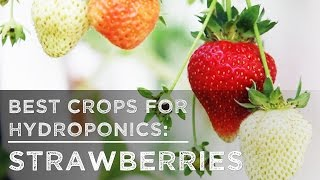 getlinkyoutube.com-Best Crops for Hydroponics: Strawberries