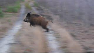 getlinkyoutube.com-Wild Boar hunting best moments compilation Polowanie najlepsze momenty Drückjagd Wildschweinjagd