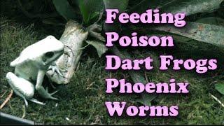 Feeding POISON Dart Frogs Phoenix Worms - Watch in HD