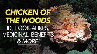 getlinkyoutube.com-Chicken Of The Woods - Identification, Look-Alikes, Medicinal Benefits, & More with Adam Haritan
