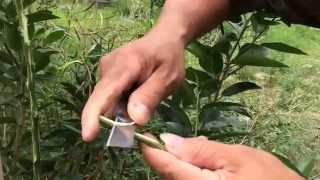 getlinkyoutube.com-เทคนิคการเสียบยอดมะนาวแป้นเกรียงไกร บนต้นตอส้มโอ (1/4) โทร.081-984-6526
