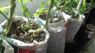 getlinkyoutube.com-update #2 Make free DIY self watering grow bag for vegetable gardening