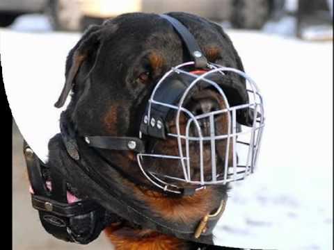 """Viendo el video """"Perros Rottweiler Fotos"""" MP3 Gratis"""
