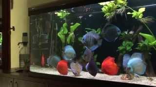 getlinkyoutube.com-Discus aquarium 620 l