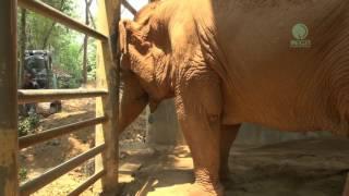 getlinkyoutube.com-Touching Footage Of Elephant Cry To Dead Best Friend