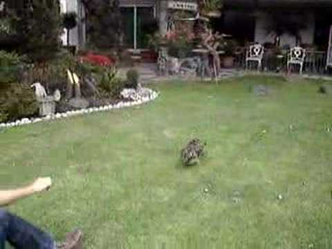 anaconda eats man. Jaguar Attacks Man