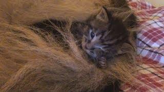 German Shepherd adopts Orphan Kittens