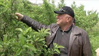 Фермеры Алматинской области намерены повысить урожай яблок (04.05.16)