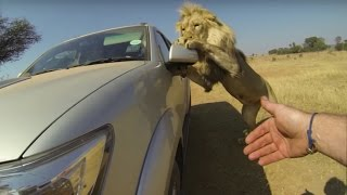 getlinkyoutube.com-Lions Attack Car Full Of People