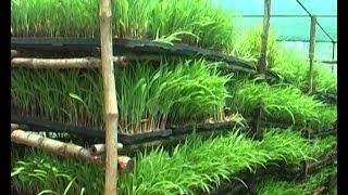 Tips for raising hydroponic fodder grass & vissaka farmers experience