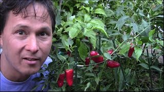 getlinkyoutube.com-10 Reasons Why You Should Grow More Peppers and Less Tomatoes in Your Garden