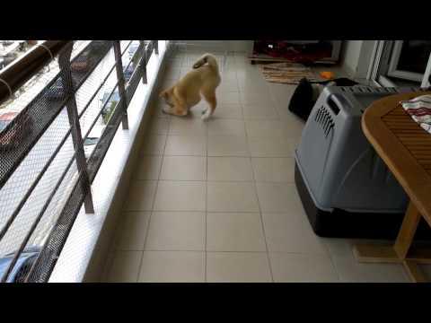 Το πιο χαριτωμένο κουτάβι Ακίτα | Εκπαίδευση σκύλων