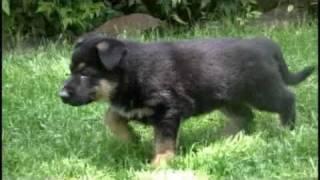 getlinkyoutube.com-German Shepherd Puppy from 6 weeks to 1 year