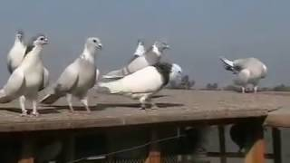 getlinkyoutube.com-PIGEONS OF RASHID ALI SHAH 2