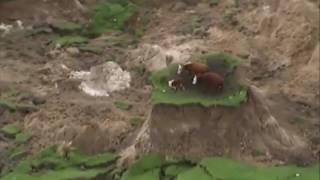 Vacas locas tras terremoto en Nueva Zelanda