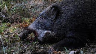 getlinkyoutube.com-天城の猪狩 初猟 腸抜き100Kgの大物 2014 11 15
