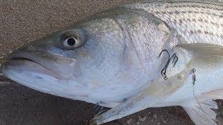 getlinkyoutube.com-Striper Surf Fishing - Bomber Lures