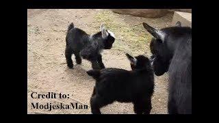 getlinkyoutube.com-Pygmy Goat Happy Feet