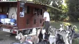 37 Siberian Huskys im Rudel