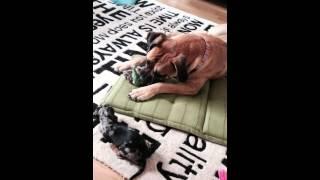 getlinkyoutube.com-Dog fight - killer boerboel vs dachs