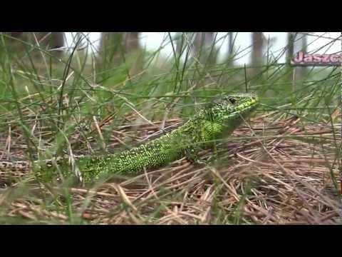 Lacerta viridis (jaszczurka zielona)