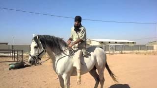 (Arabian Riding 509 ركوب الخيل / الركوب العربي)Mhajal / توقيف الحصان قبل الركوب