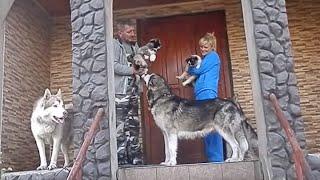 getlinkyoutube.com-МАЛАМУТЫ. ВОЖАК СТАИ.Leader of the Pack.Alaskan Malamute.Odessa.