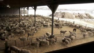 getlinkyoutube.com-Ontario Lamb Farming
