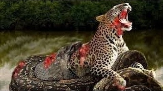 getlinkyoutube.com-Animal attacks Compilation 2016 - When Animals Attack - Big Battle Animals Real Fight #2