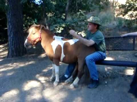 A Lap Full - Miniature Horse sits on man