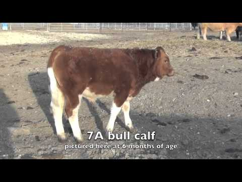 Fleckvieh bull calf going back to Dan Smiths Marne cow family