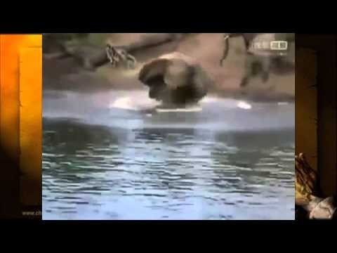 Crocodile Attacks Elephant !!!  [Documentary Animal and Nature ]