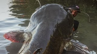 getlinkyoutube.com-INCREDIBLE HUGE CATFISH 8,5 FEET - 250 LBS - HD by CATFISHING WORLD