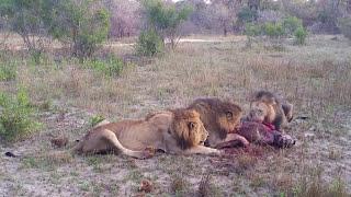 getlinkyoutube.com-Three Male lions kill and eat a Hyena (Majingilane male lions)