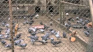 getlinkyoutube.com-Tierliebhaber kümmern sich in Oberrad um Tauben