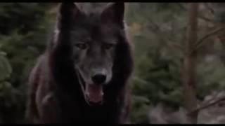 كلب وفي حكيم يواجه ذئب مفترس