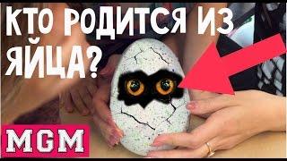 getlinkyoutube.com-HATCHIMALS - Как приручить дракона! Невероятная игрушка сама ломает яйцо. MGM