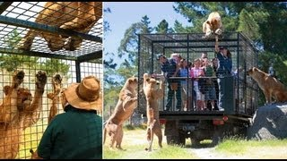 getlinkyoutube.com-Tourists locked in cage for close encounter with hungry lions