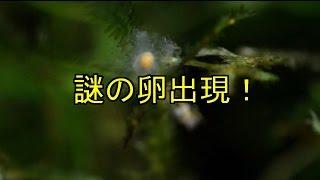 getlinkyoutube.com-謎の卵出現! 【アクアリウム】